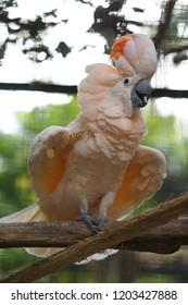 Beautiful Bird of Cacatua moluccensis