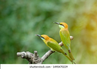 beautiful bird Chestnut headed Bee eater on a branch.(Merops leschenaulti) with green background