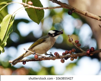 Beautiful Bird in the City. Chinese Bulbul or Light-vented Bulbul perched on a tree branch and eating fruit in Daan forest park, Taipei, Taiwan.