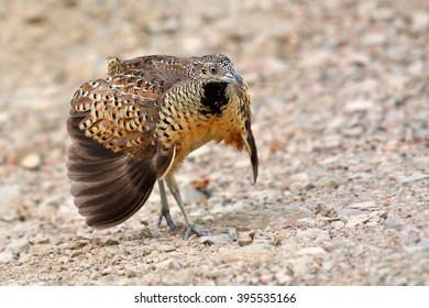 Beautiful bird, female Barred Buttonquail (Turnix suscitator), standing on the ground
