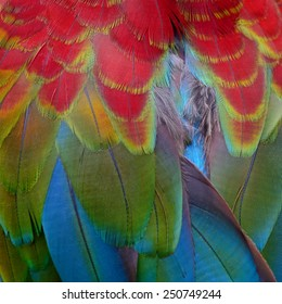 Beautiful bird Greenwinged Macaw feathers.
