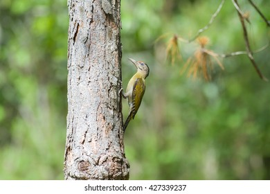 Beautiful bird, Grey headed Woodpecker