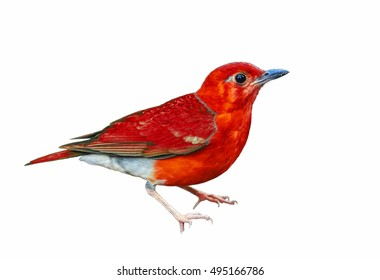Beautiful bird isolated standing on ground with white background,red bird.