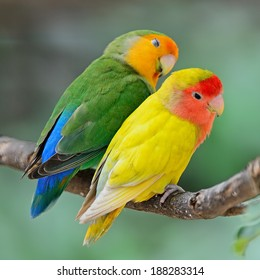 Beautiful bird, Lovebird, standing on a branch, back profile