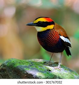 Beautiful bird male Banded Pitta  ,Malayan Banded Pitta (Pitta guajana)