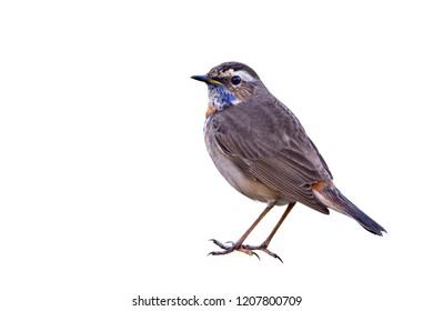Beautiful  bird, male Bluethroat isolated on white background, Luscinia svecica