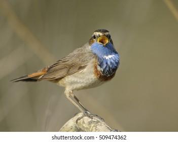 Beautiful bird male Bluethroat (Luscinia svecica)
