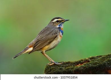 Beautiful  bird, male Bluethroat perched on moss with blur green background, Luscinia svecica