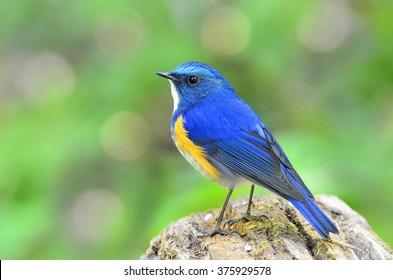Beautiful bird, male Himalayan Bluetail or Orange-Flanked Bush Robin (Tarsiger rufilatus)