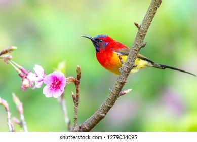Beautiful bird, Mrs. Gould's Sunbird; Aethopyga gouldiae Male Birds of Thailand. Bird on Cherry Blossom.