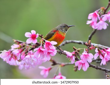 beautiful bird, Mrs. Gould's Sunbird with Cherry blossom , pink sakura flower
