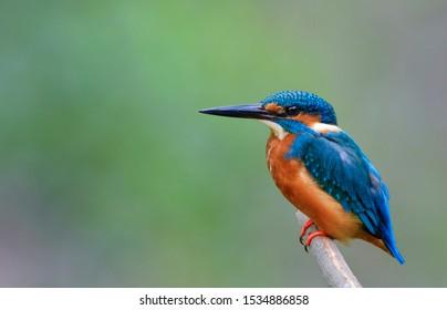 Beautiful bird in nature Common Kingfisher (Alcedo atthis)