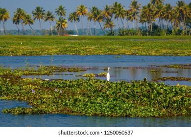 Beautiful bird on backwater travel destinations of Kerala, India.