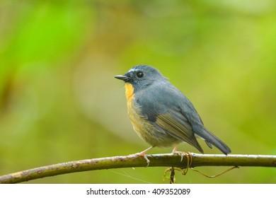 beautiful bird on branch,Snowy-browed Flycatcher
