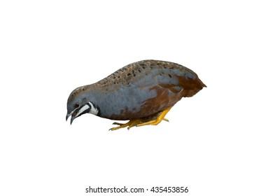 Beautiful Bird on white background , King quail, Blue-breasted quail or Asian blue quail