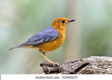 Beautiful bird Orange-headed Thrush standing on the wooden in the nature (Zoothera citrina)