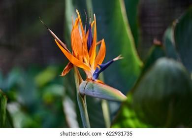 beautiful Bird of Paradise flower (Strelitzia reginae) isolated in green background, Puerto De La Cruz, Tenerife