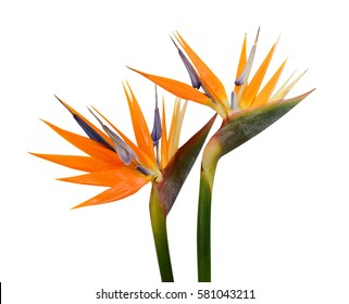 beautiful Bird of Paradise flowers isolated in white background