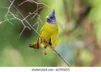 A beautiful bird pooping, Crested Finchbill (Spizixos canifrons) resting on tree branch pooping while resting on tree branch