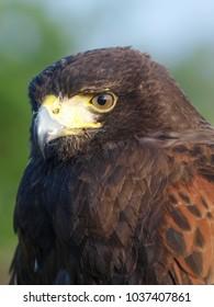 A beautiful bird of prey used as a falconers bird.