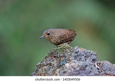 Beautiful Bird of Pygmy Cupwing or Pygmy Wren Babbler ( Pnoepyga pusilla ). Found in real nature of Northern of Thailand