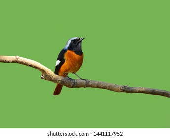 Beautiful bird  Redstart bird, Daurian Redstart (Phoenicurus auroreus) standing on a branch