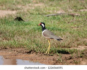 Beautiful bird running on the ground. Red wattled lapwing (Vanellus indicus) is an Asian lapwing or large plover, a wader in the family Charadriidae.