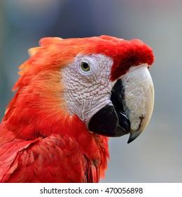 Beautiful bird Scarlet Macaw
