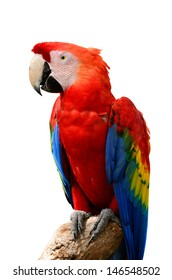A beautiful bird Scarlet  Macaw isolate on white background.