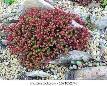 beautiful Bird Sedum with glossy round dense leaves,similar to rose flowers of gree, red colors on background of other unusual,rare groundcover creeping sedums,Alpine plants on rockery bed.Top view