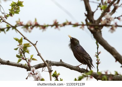 Beautiful bird starling on a flowering tree