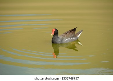 Beautiful bird swims in the waters of the Huacachina lagoon in Ica.