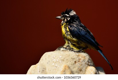Beautiful bird taking a bath on a water fountain, Blue tit
