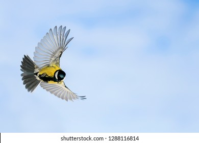 beautiful bird tit flies widely spreading its wings and feathers in spring garden on the background of Sunny blue sky