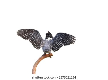 Beautiful Bird,Crested Kingfisher (Megaceryle lugubris) rest  a branch in nature  on white background