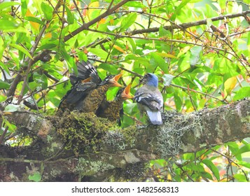 Beautiful bird,Green Cochoa/Cochoa viridis feeding it's chicks in the nature