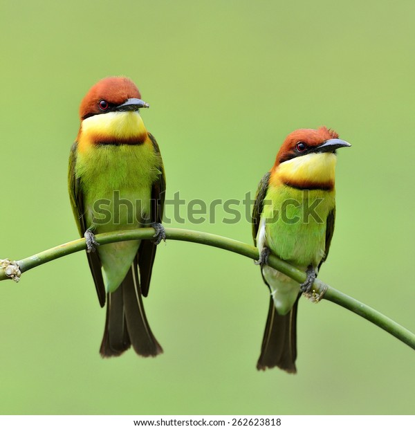 Beautiful birds Chestnut headed Bee eater perched on branch.(Merops leschenaulti)