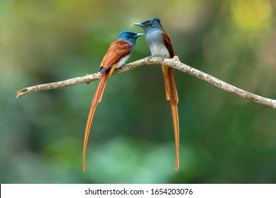 Beautiful birds, A pair of asian paradise flycatcher