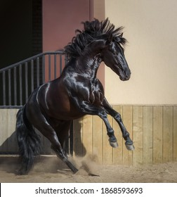 Beautiful black Andalusian horse play in paddock at sunset.