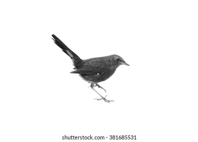 Beautiful Black Bird In Fancy Color Isolated On White Background