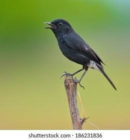 Beautiful black bird, A male Pied Bushchat.(Saxicola caprata)