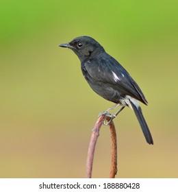 Beautiful black bird, A male Pied Bushchat (Saxicola caprata) perching on a branch