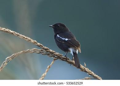 Beautiful black bird, A male Pied Bushchat (Saxicola caprata) perching on a branch, Thailand