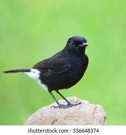 Beautiful black bird  Pied Bushchat on the rock.(Saxicola caprata)