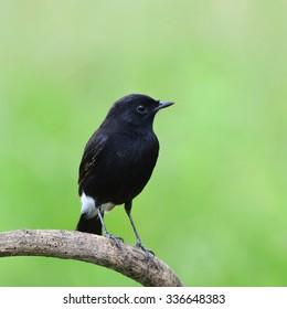 Beautiful black bird  Pied Bushchat on the branch.(Saxicola caprata)