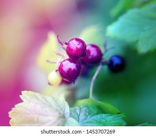 Beautiful black currant berries on a background of green leaves photographed close-up.