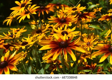 Beautiful Black Eyed Susan Daisies Bloomed in Nature