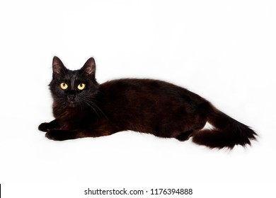 beautiful black fluffy cat on a white background