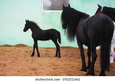 A beautiful black foal with a mother horse against green wall in a pasture. A little horse is standing near raven mare at the racetrack. Farm animals in a corral. A horse family. A cinematic filter.