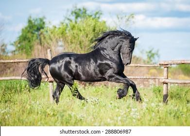 Beautiful black friesian stallion running in the paddock in summer